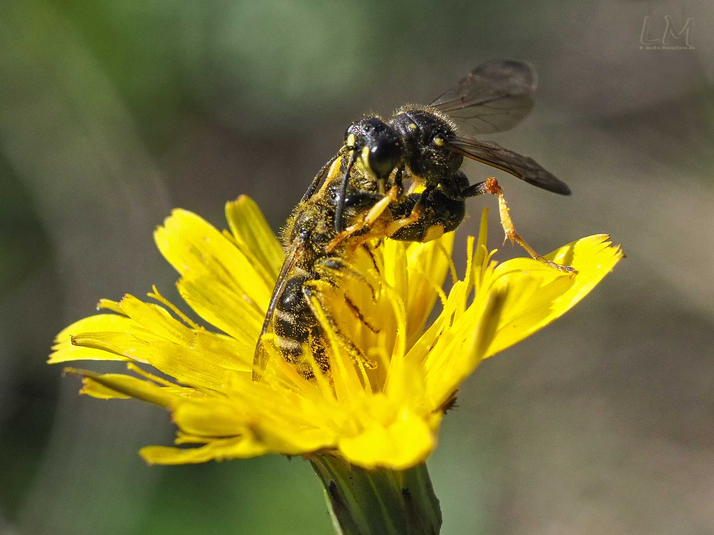 Grabwespe betäubt Wildbiene