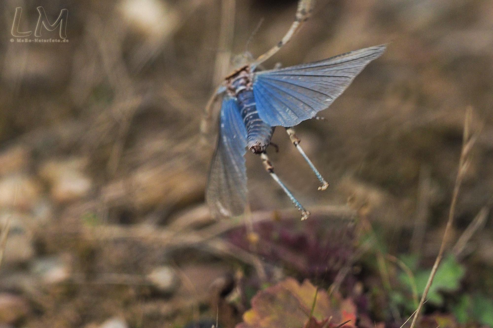 Blauflügelige Sandschrecke