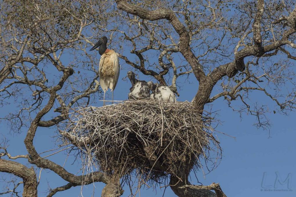 Der Wappenvogel des Pantanal