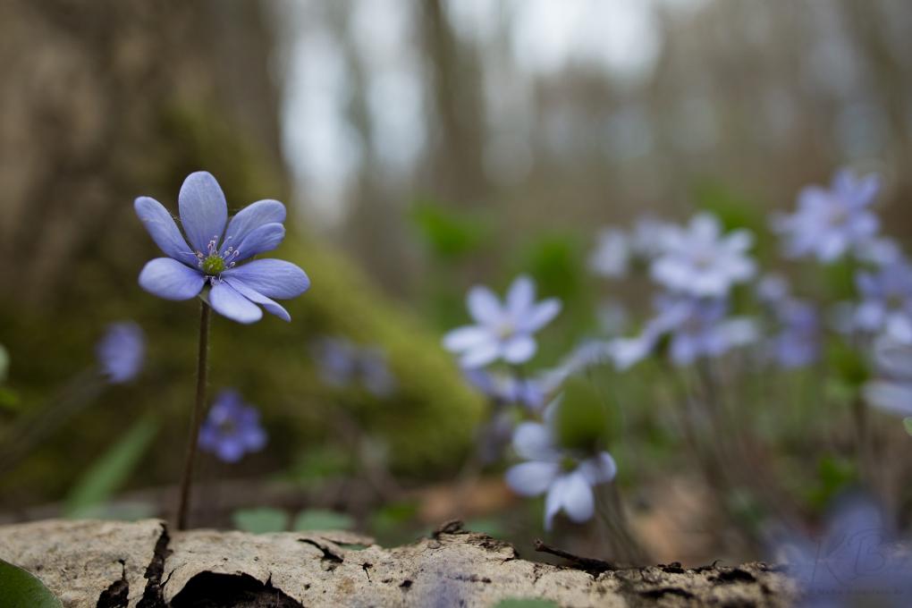 Leberblümchen im Frühjahrswald