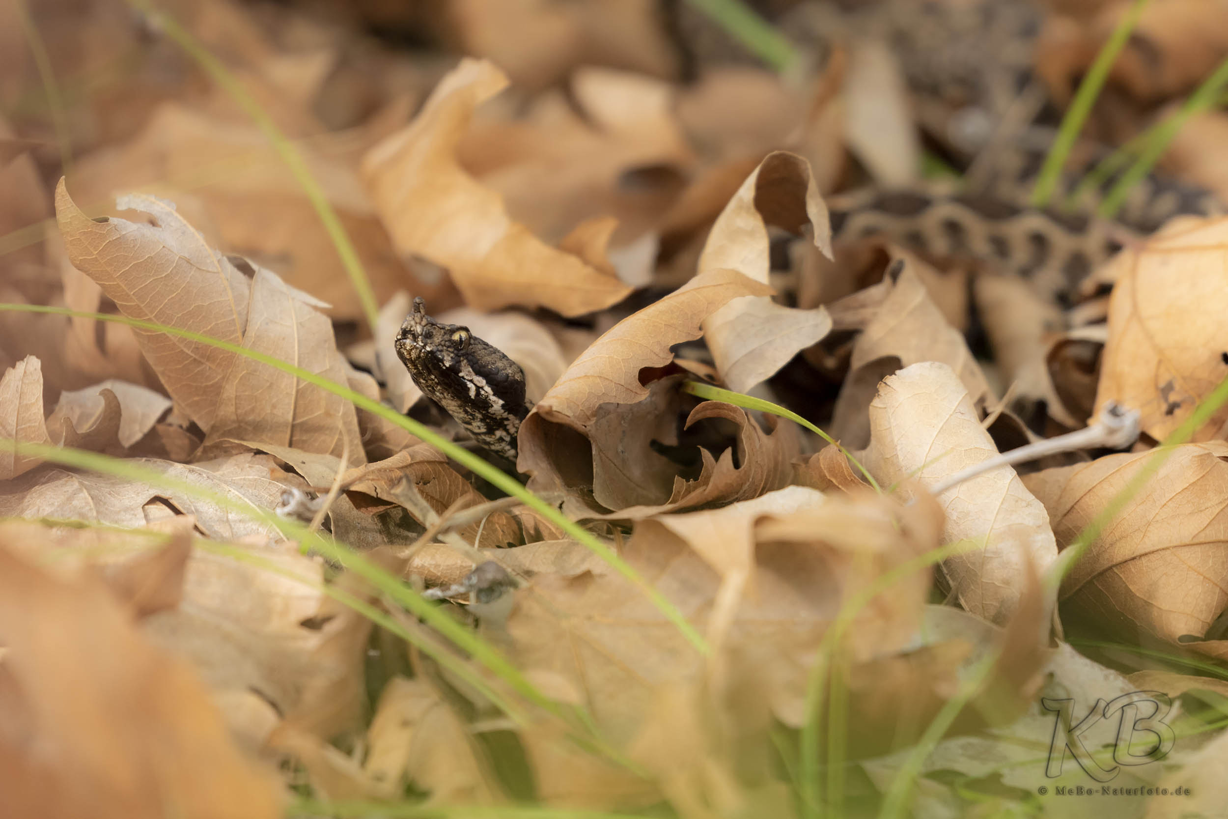 Horn- oder Sandotter (Vipera ammodytes)