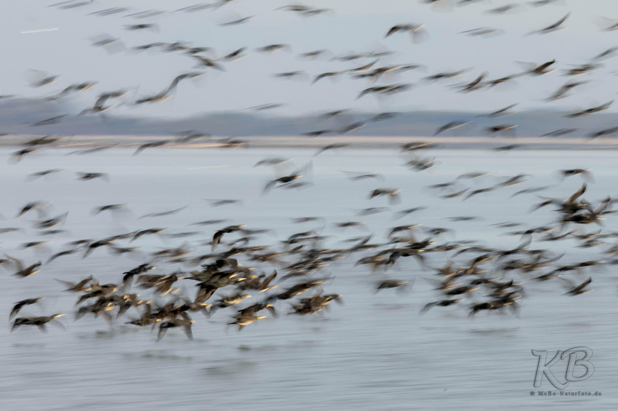 Zehntausend Kormorane leben am Kerkini-See