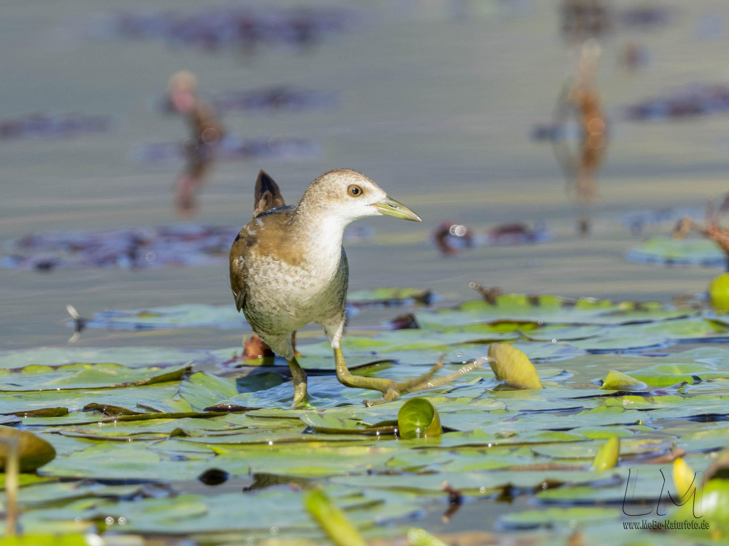 Kleines Sumpfhuhn, Jungvogel