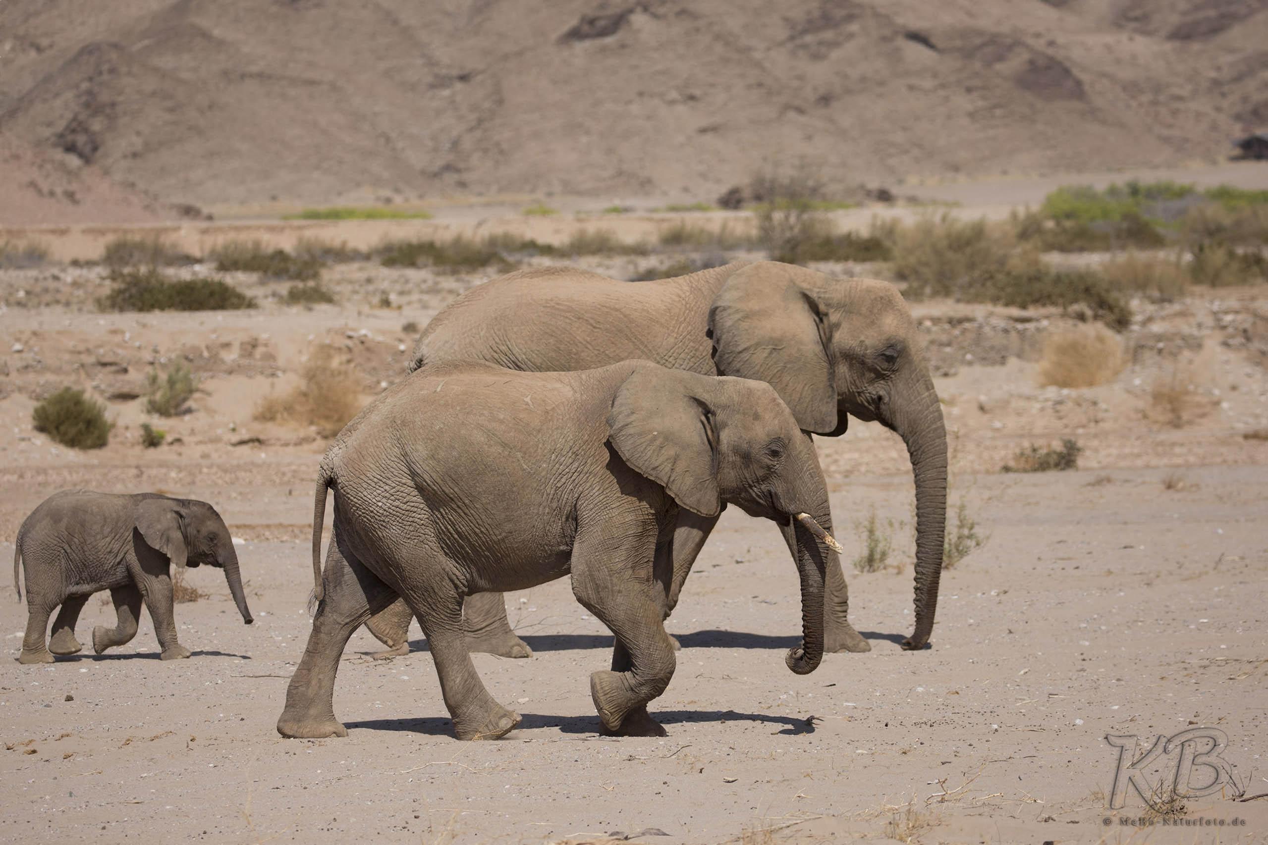 Wüstenelefanten am Hoanib