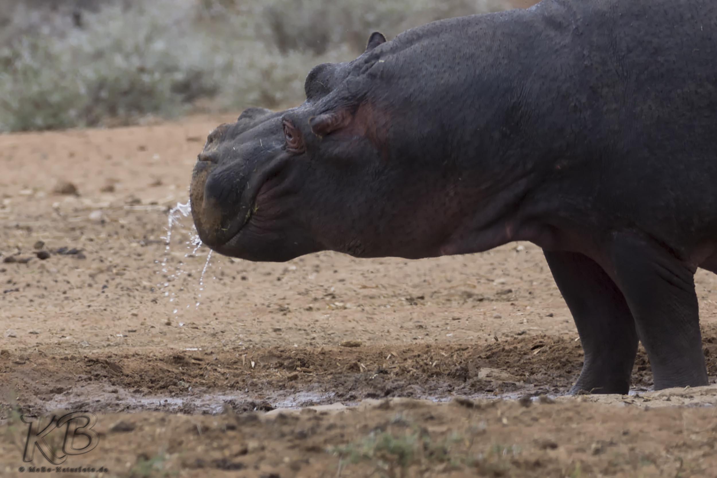 das ist eindeutig zu wenig Wasser für ein Nilpferd