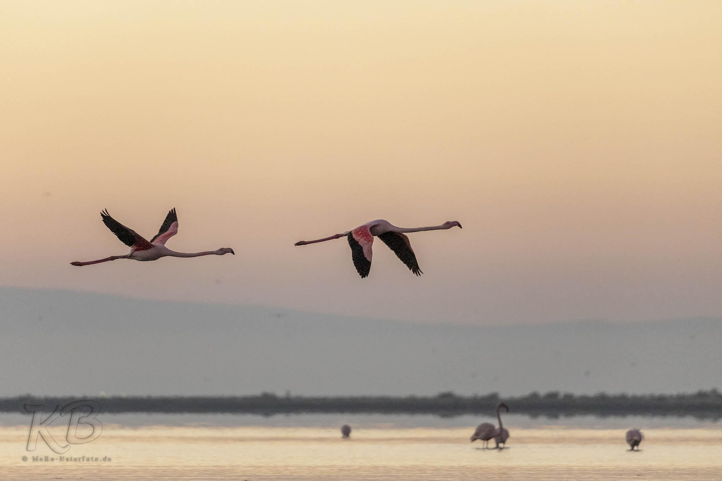 Flamingos Morgenlicht