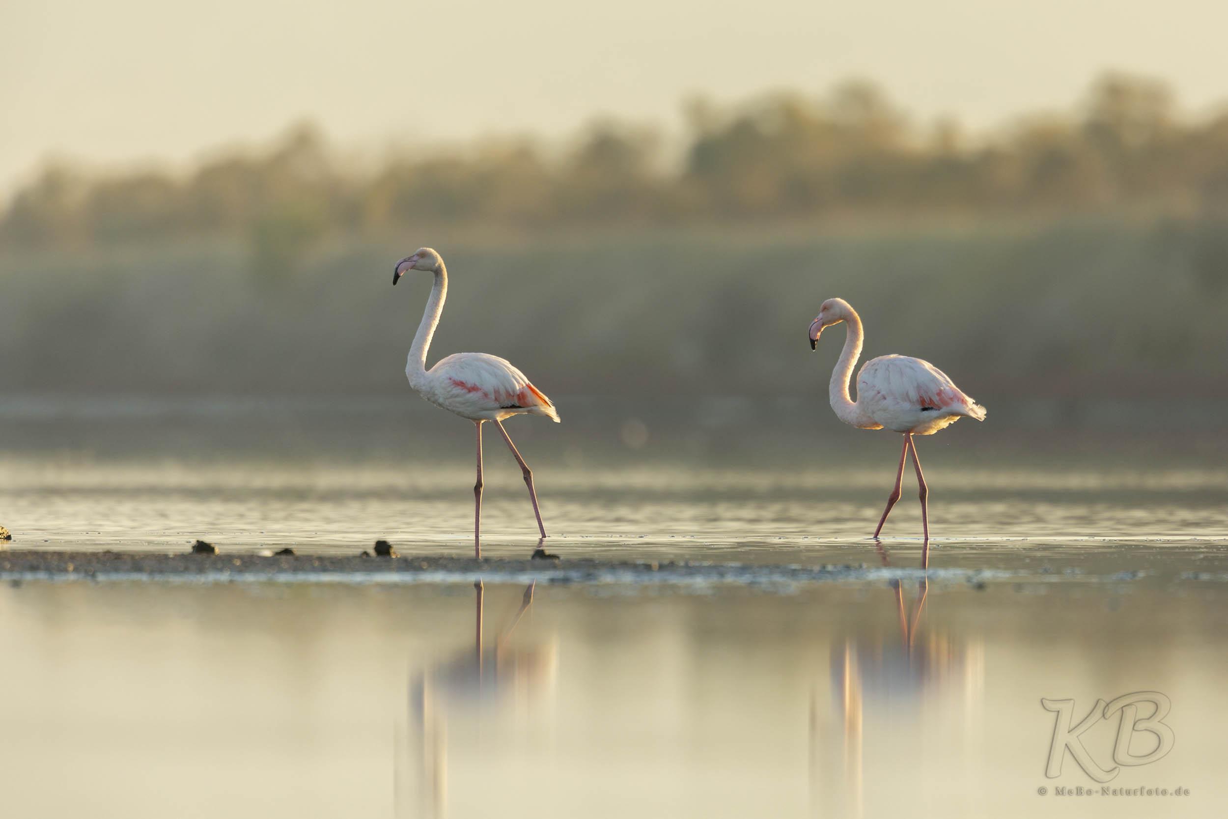 Flamingos im flachen Wasser der Lagune von Kalochori