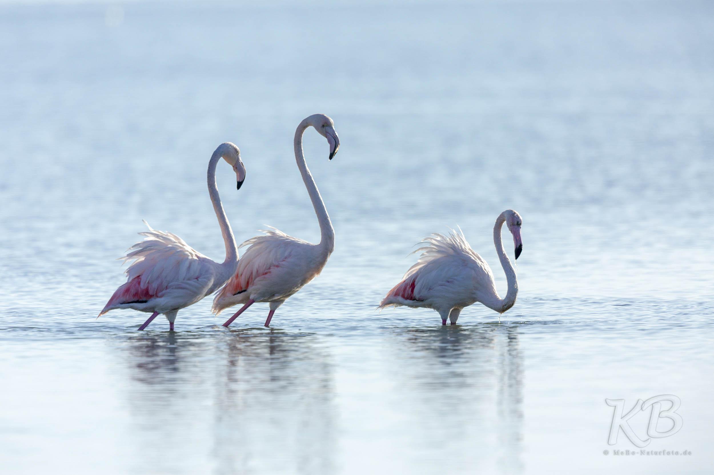 Mit erhobenem Haupt - Rosaflamigos in der Bucht von Thessaloniki