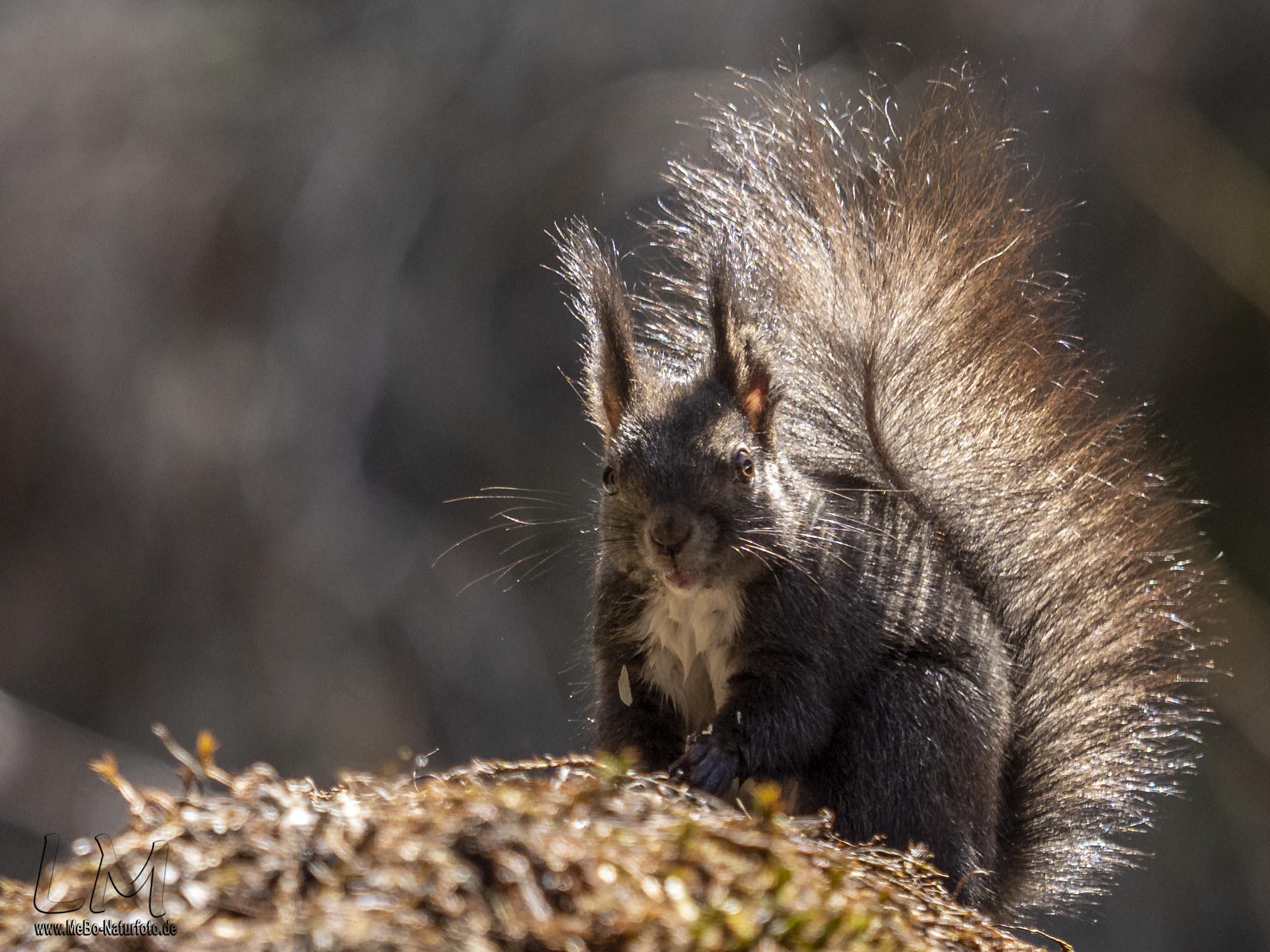 Braune Variante des Eurasischen Eichhörnchens