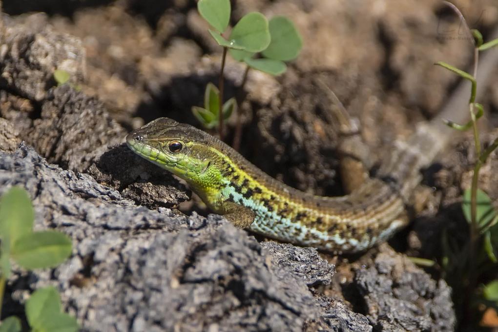 Schlangenaugeneidechse