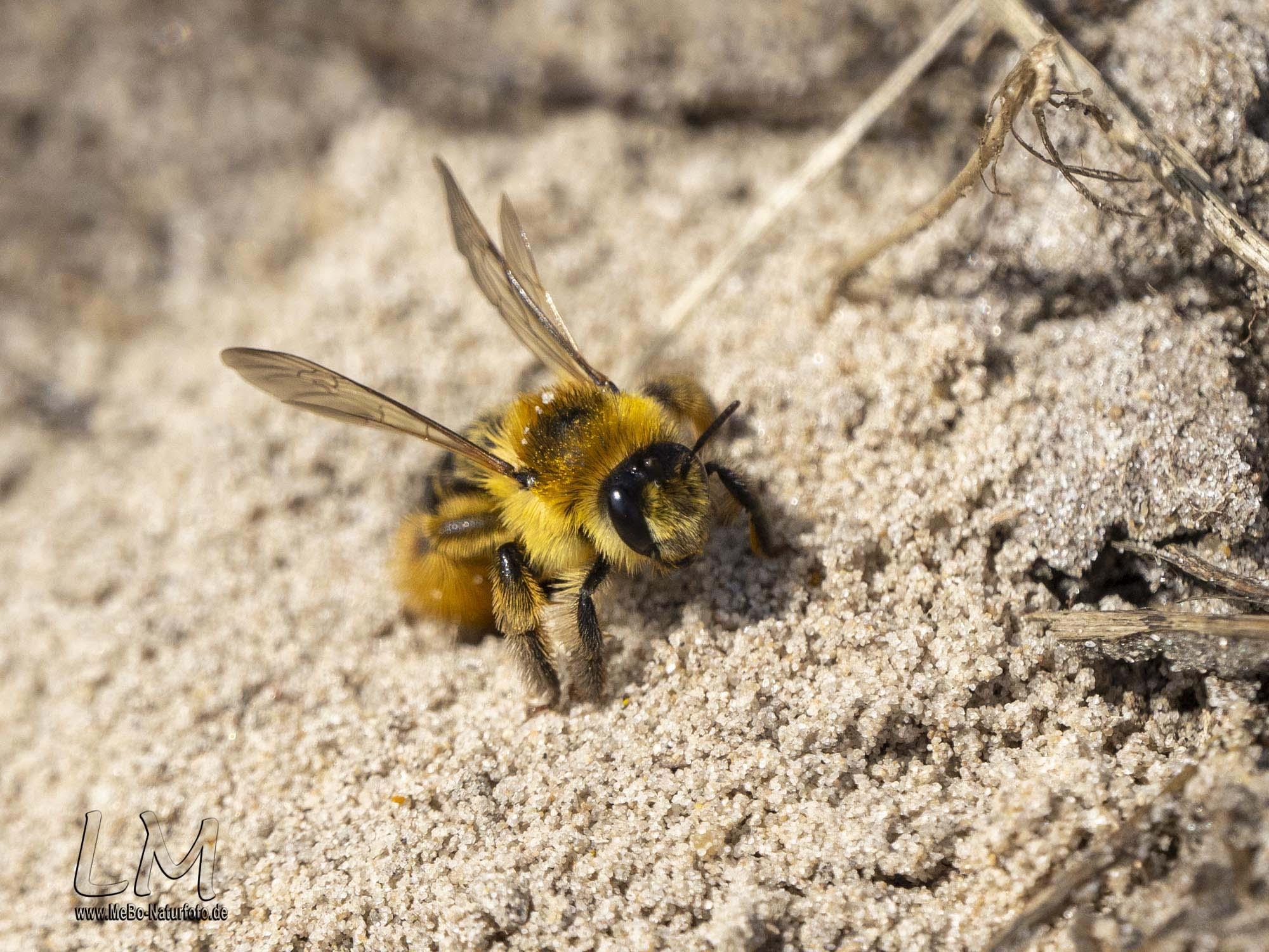 Hosenbiene auf Mandö
